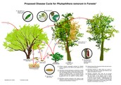 The cycle of Sudden oak Death.