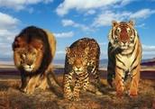 3. Create a Dichotomous Key-Big Cats