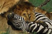 The lion killing a zebra