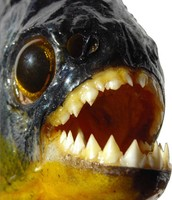 Piranhas have a big head