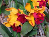 The Orquideas flower