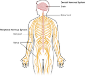How Bipolar Disorder Impacts the Central Nervous System