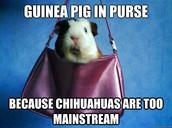 Chihuahuas are too mainstream