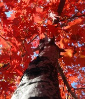 Northern Red Oaks
