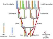 Inheritance of DNA