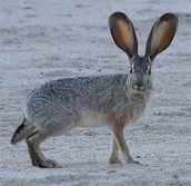 Black Tailed Jack-Rabbit