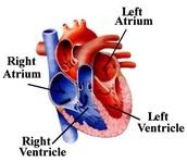 Four Chamber Heart