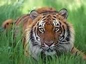 2 - El tigre de Bengala