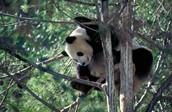 Pandas Habitat