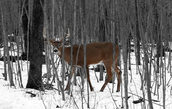 A male whitetail deer in the woods