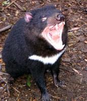 Tasmanian devil in Protection mode