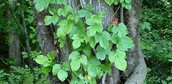What is poison ivy?