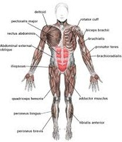 Front view of the Muscular System