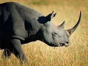 A Black Rhino strolling along the Serengeti