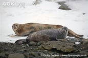 Weddell seal adult and juvenile hauled out on rocks