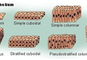 Epithelial Tissue Function.