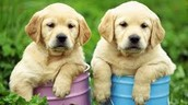 los caninos
