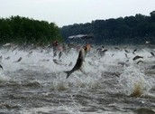 When did the problems with Asian Carp begin?