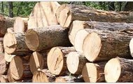 Logs of hardwood Timber