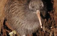 Kiwi not just a fruit