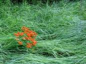 Milkweed grass