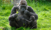 A mother and her infant eating grass