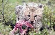 A cub eating