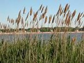 Common Reed(Plant)