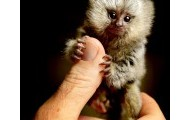 Baby Marmoset on a Finger