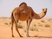 A one humped camel looking at you.