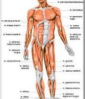 The Muscular sytem