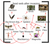 Food Web in U.S. after invasion