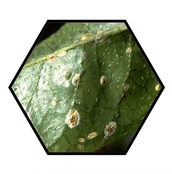 White Halo Fungus