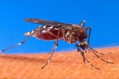 close up of a mosquito bitting