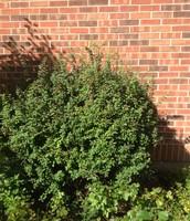 Barberry bush
