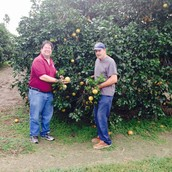 Picking fresh grapefruit while on vacation in south Texas
