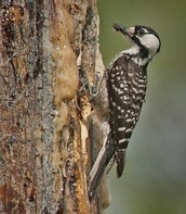 The Red-Cockaded Woodpecker: