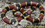 Coral Snake: Most Toxic