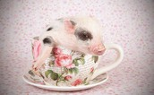 This is a picture of a tea cup pig in a tea cup.