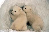 דובי קוטב בארקטיקה