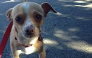 Kifaru -- 2 year old Chihuahua and Dachshund Mix -- 7 lbs