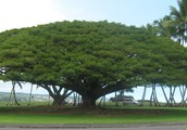 Hawaii State Tree
