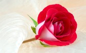 A Rose From A Rose