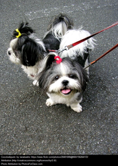 Yorkshire and Shih tzu toy dog