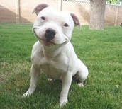 Happy Pit Puppy