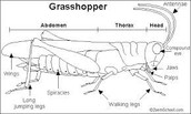 External Anatomy of the Grasshopper