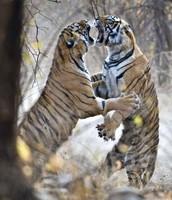 Bengal Tigers Arguing