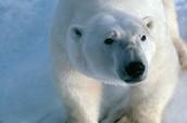 Polar bears habitat