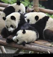 Pandas hanging out