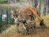 Mother and cub Florida Panther